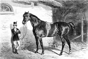 Anglo-Norman horse - An Anglo-Norman of the Merlerault type, circa 1850