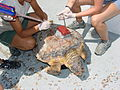 Annual loggerhead turtle survey.jpg