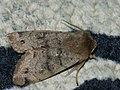 Anorthoa munda - Twin-spotted Quaker - Ранняя совка рыжеватая (40349533334).jpg
