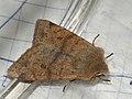 Anorthoa munda - Twin-spotted Quaker - Ранняя совка рыжеватая (41057788431).jpg