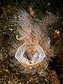 Antennarius striatus (24783944856).jpg