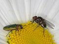 Anthaxia nitidula (Buprestidae), ♂ (9542532695).jpg