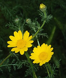 Anthemis April 2009-1.jpg