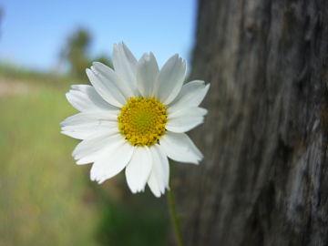 Anthemis arvensis subsp. incrassata.JPG