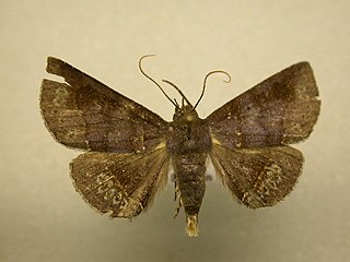 <i>Antiblemma</i> genus of insects