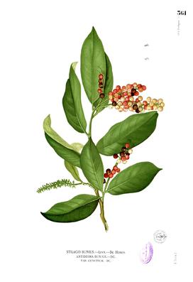 Antidesma bunius, Illustration