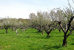 Adam's Green - Image: Apple orchard geograph.org.uk 1267702