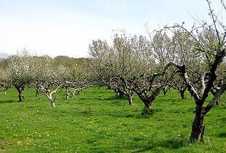 Adam's Green - Image: Apple orchard geograph.org.uk 1267702
