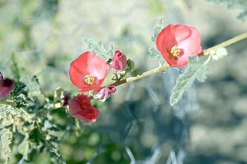 Apricot Mallow (24941300056)
