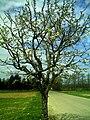 April Black Water Schwarzwaldwasser Cherry Blossom - Master Mythos Black Forest Photography 2013 - panoramio (1).jpg