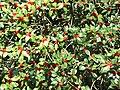 Aquifoliales - Ilex aquifolium 2.jpg
