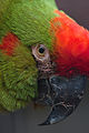 Ara rubrogenys -Tulsa Zoo, Oklahoma, USA -head-8a (1).jpg