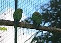 Aratinga canicularis 0zz.jpg