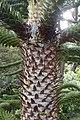 Araucaria araucana kz02.jpg