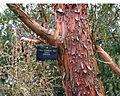 Arbutus andrachne - bark.jpg