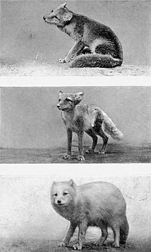 Image Result For Arctic Wolf Coloring