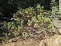 Arctostaphylos sp. (3021501827).jpg