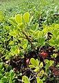Arctostaphylos uva-ursi kz11.jpg