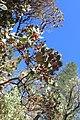 Arctostaphylos viscida ssp mariposa kz1.jpg