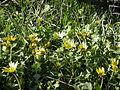 Arctotheca calendula (5059161235).jpg
