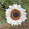 Arctotis fastuosa-IMG 3137.jpg