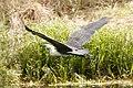 Ardea pacifica -Edithvale Wetland, Melbourne, Australia -flying-8 (2).jpg