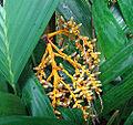 Areca vestiaria, fruit (14253786188).jpg