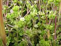 Arenaria serpyllifolia 2005.04.09 12.57.43.jpg