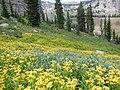 Arnica longifolia (29135005071).jpg