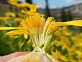 Arnica longifolia (29135005361).jpg