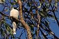 Artamus personatus -Australia-8.jpg
