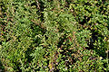 Artemisia nilagirica W IMG 3105.jpg