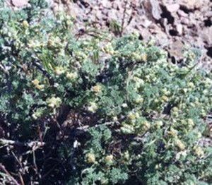 Artemisia spinescens - Arches National Park, Utah