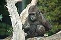 Artis Toddler gorilla Shambe sitting on a trunk - Artis Royal Zoo (10037445674).jpg