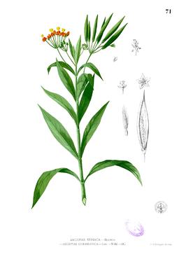 Asclepias curassavica Blanco1.71