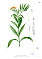Asclepias curassavica Blanco1.71.png