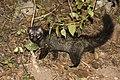 Asian Palm Civet .jpg