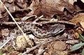Asp Viper (Vipera aspis zinnikeri) neonate ... (Thanks to Jean NICOLAS) (30647439878).jpg