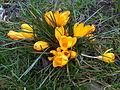 Asparagales - Crocus chrysanthus - kew 1.jpg