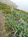 Asphodelus albus pointe Robert Roscanvel 02.jpg