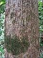 Aspidosperma spruceanum, gararoba - Flickr - Tarciso Leão (11).jpg
