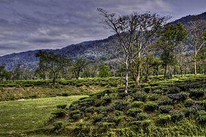 Assam tea - Assam tea garden view