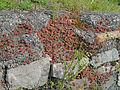 Assmannshausen-Mauerflora-2012-06-642.jpg