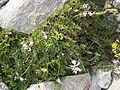 Astragalus alpinus 01.JPG