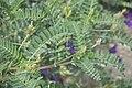 Astragalus boeticus-3272.jpg