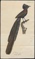 Astrapia nigra - 1825-1834 - Print - Iconographia Zoologica - Special Collections University of Amsterdam - UBA01 IZ15800001.tif