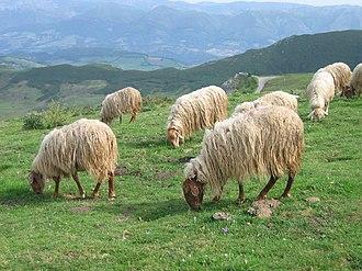Picos de Europa - Image: Asturian sheep