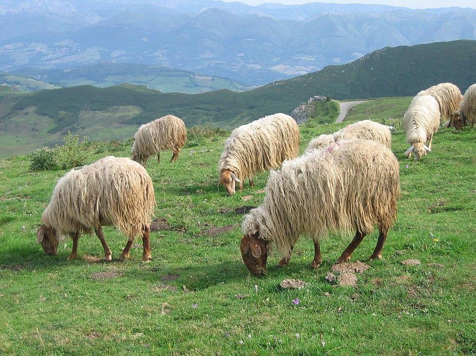Asturian sheep