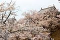 Attack of the sakura on Ueda Castle (3824216308).jpg