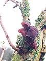 Auricularia auricula-judae 111276000.jpg